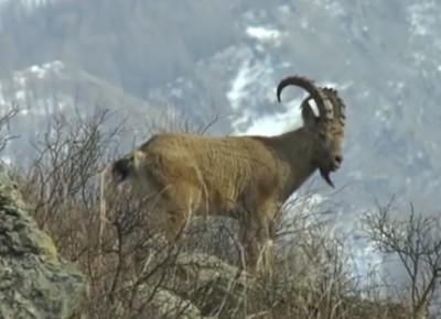 Его величество горный козёл