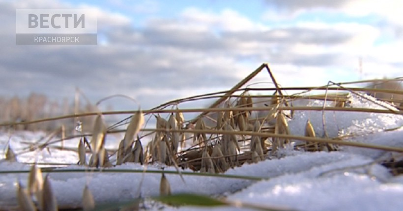 В Красноярском крае до сих пор не убраны 25% полей