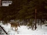 В заповеднике «Столбы» заметили волков