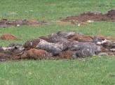 В поселке Березовая Роща под окнами домов появилась свалка мертвых животных