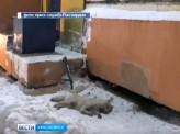 В Норильске застрелили волка, покусавшего несколько жителей
