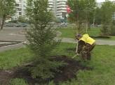 В сквере на улице Копылова высадили 50 деревьев