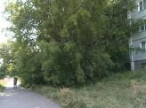 Жители дома №30 по улице Тельмана жалуются на старые высокие деревья