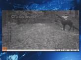 Видеоловушка в заповеднике «Столбы» засняла охоту на краснокнижное животное